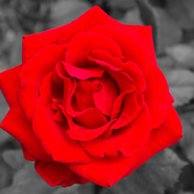 Red Rose by Bill Schuchman (BillSchuchman)) on 500px.com