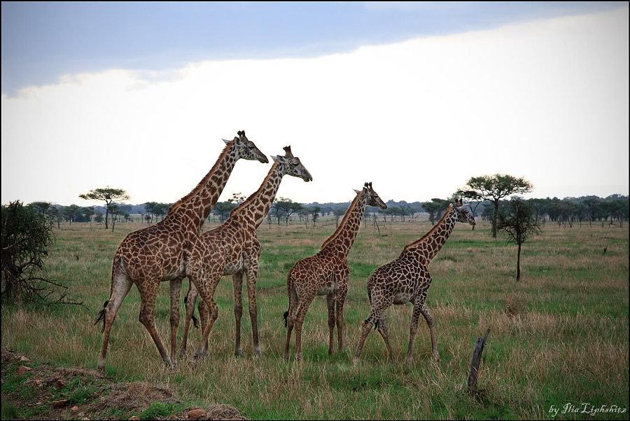 Giraffe №2