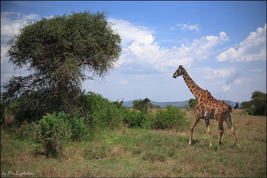 Giraffe №3