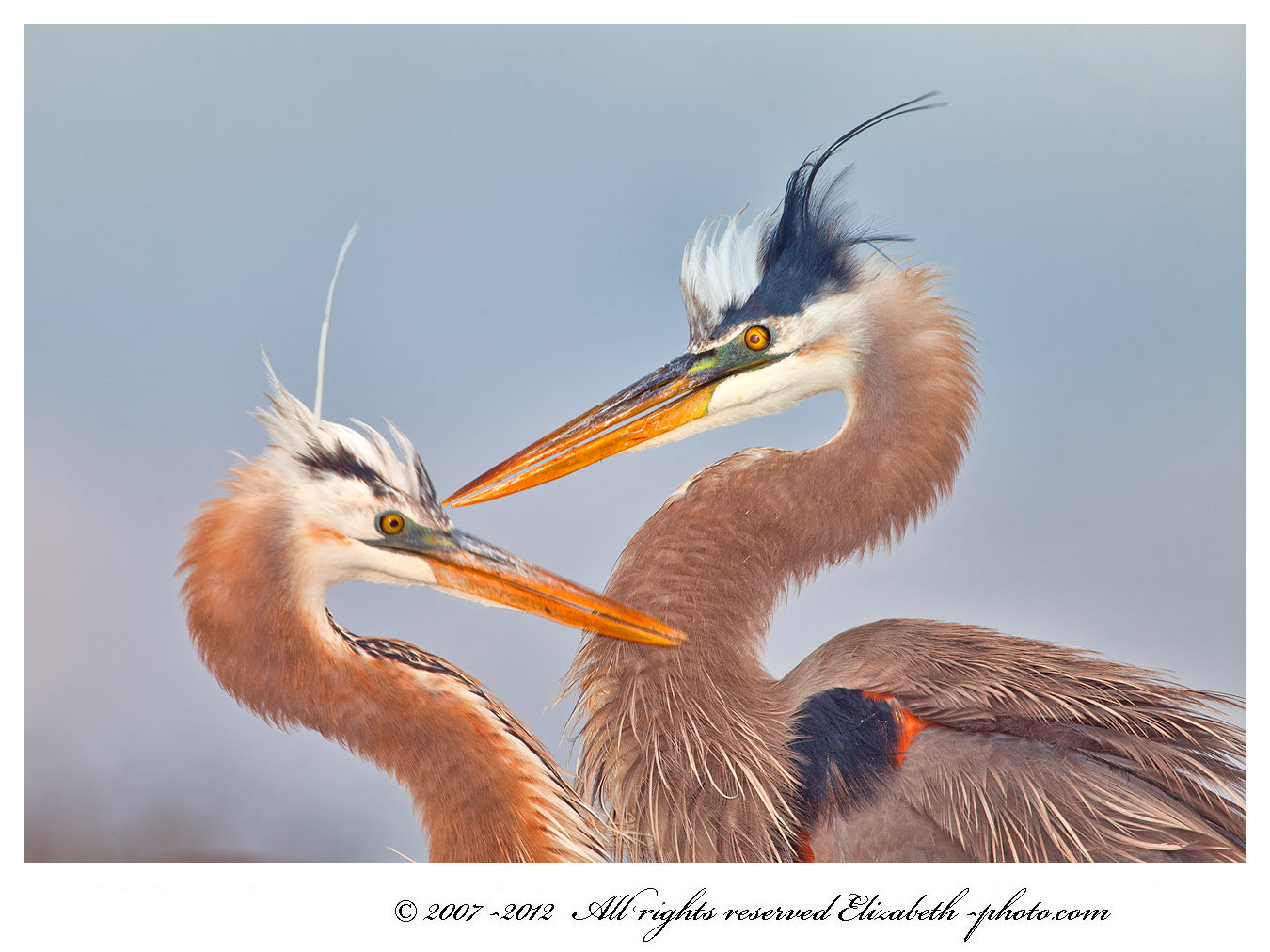Photograph Great Blue Herons by Elizabeth  E. on 500px