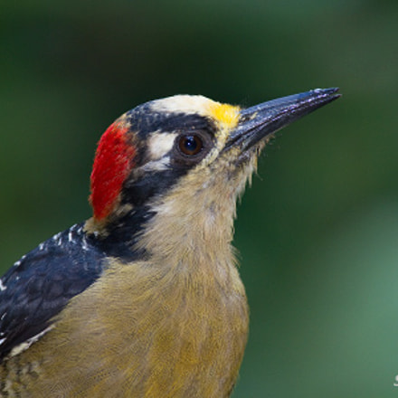 Black-cheeked woodpecker Portrait