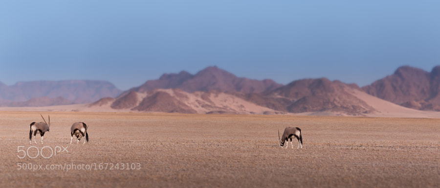 Oryx in evening sunlight
