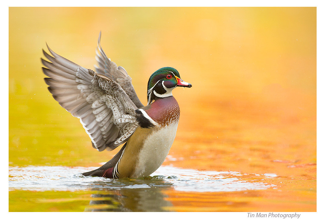 Photograph Happy Wood Duck in Golden Water by Tin Man on 500px