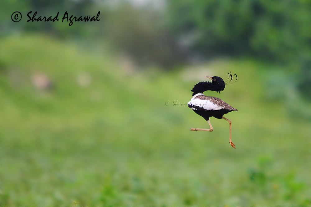 Photograph Dance of Lesser Florican  by Sharad Agrawal on 500px
