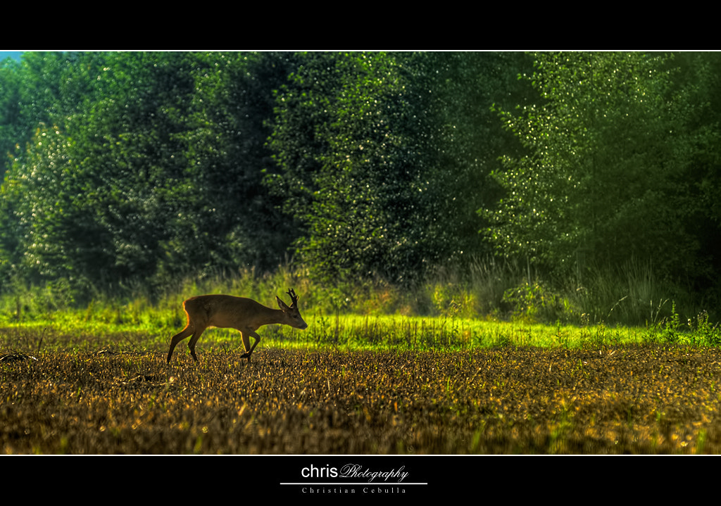 Photograph young deer by Christian Cebulla on 500px