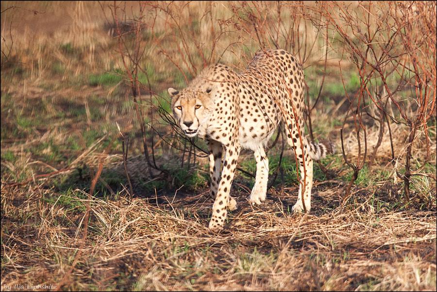 Cheetahs of Serengeti №6