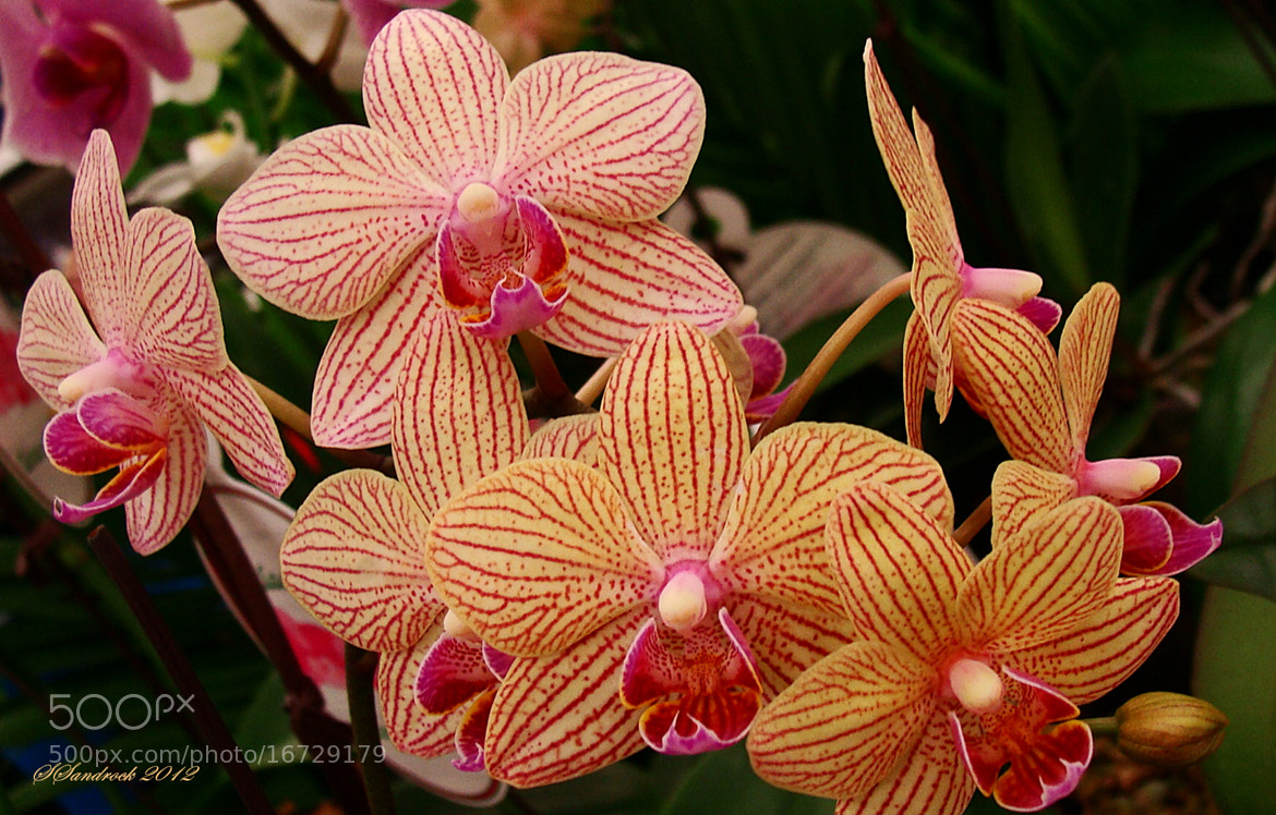 Photograph The Orchid II by Silvia Sandrock on 500px