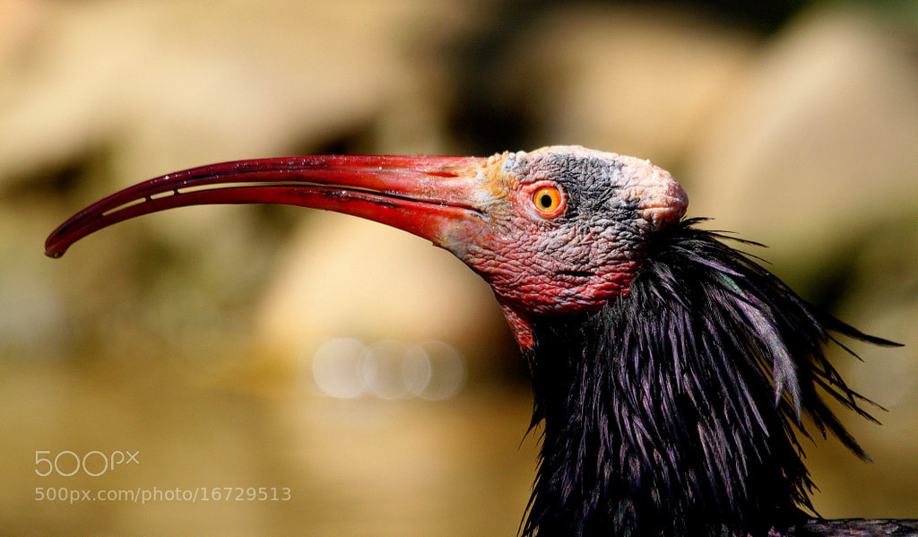 Photograph Portrait of a waldrapp  by Rainer Leiss on 500px