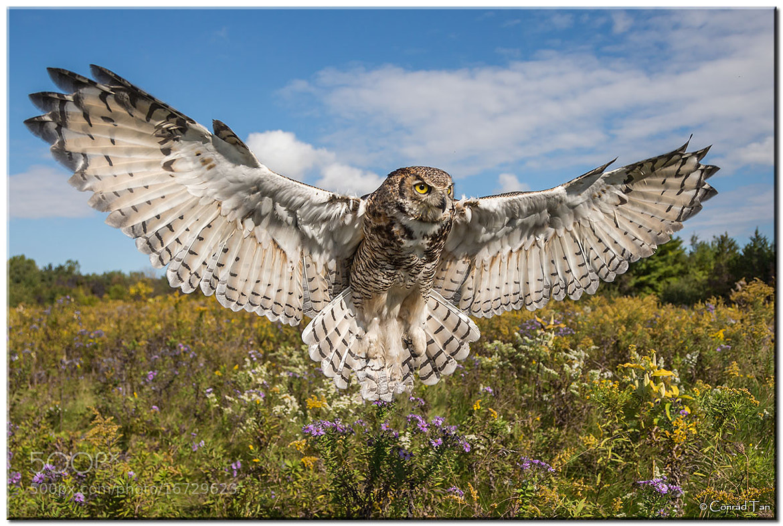 Horned Owl Flying Photograph great horned owlFlying Horned Owl Tattoo