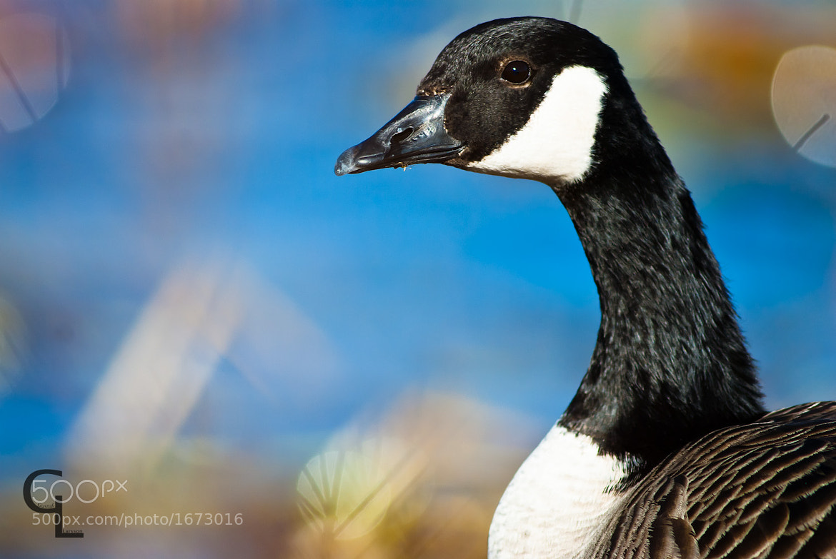 Photograph Canada Goose by Gustaf Larsson on 500px