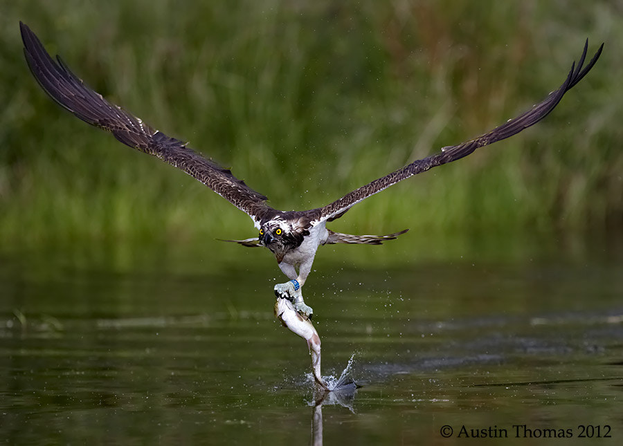 An Osprey with its catch...