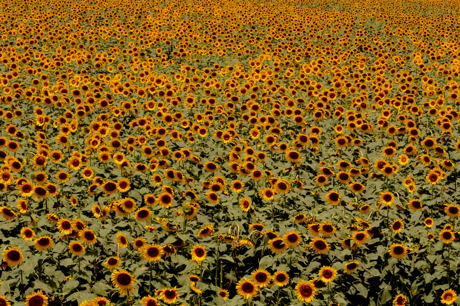 Sunflower fields by Randeep Singh on 500px.com