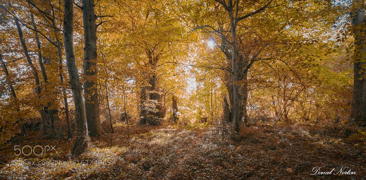 Photograph Irish Forest in Autumn by Donal Norton on 500px