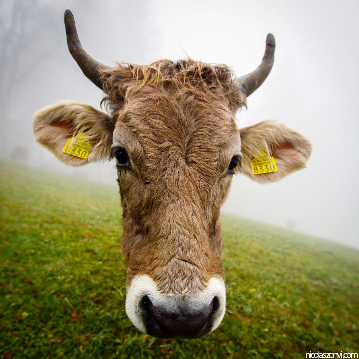 Photograph The Cow by Nicolas Zonvi on 500px