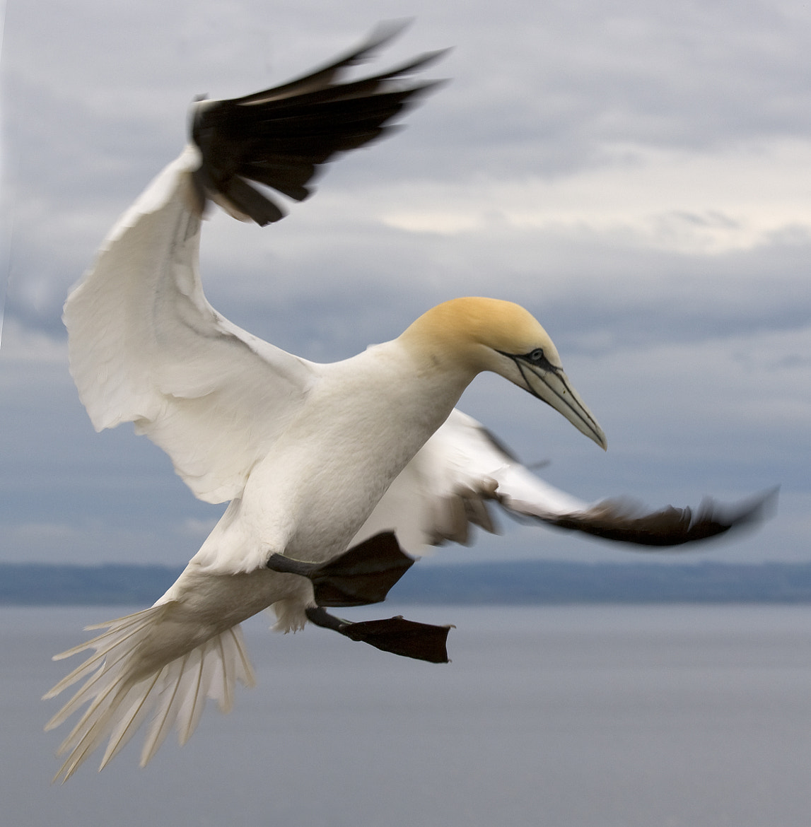 Photograph Gannet in Flight by David Southern on 500px