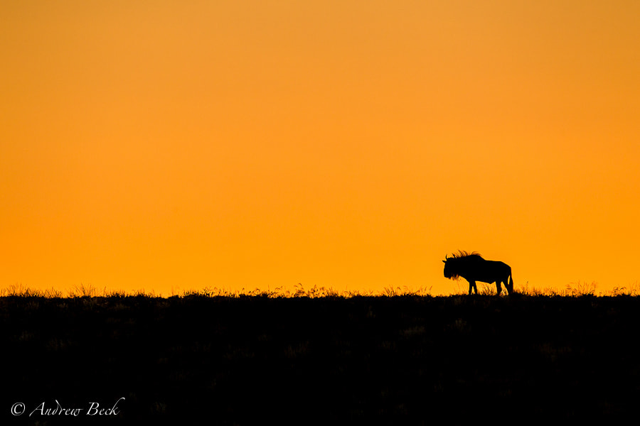 Photograph Wildebeest Silhouette  by Andrew Beck on 500px
