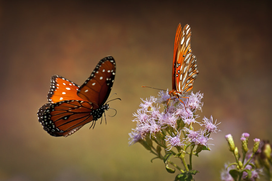 Photograph Butterflies by Kenny Salazar on 500px