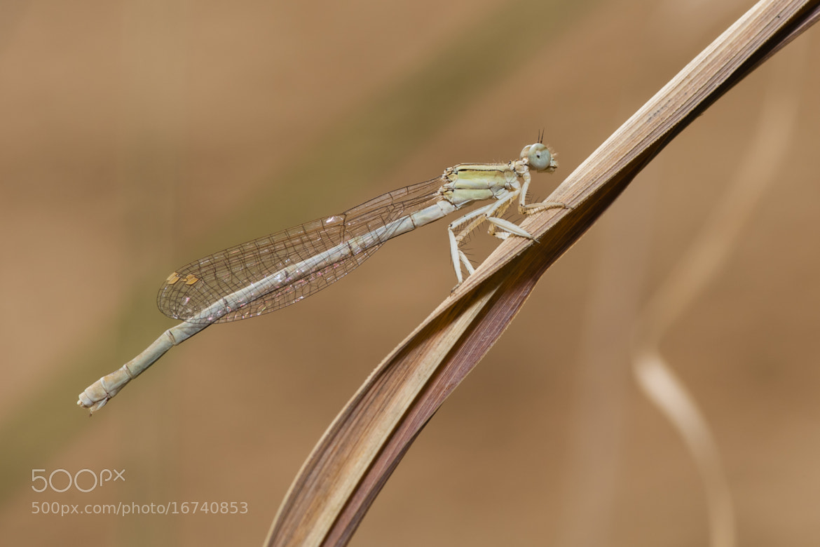 Photograph Damselfly 02 by Hosein Esmaeelbegi on 500px
