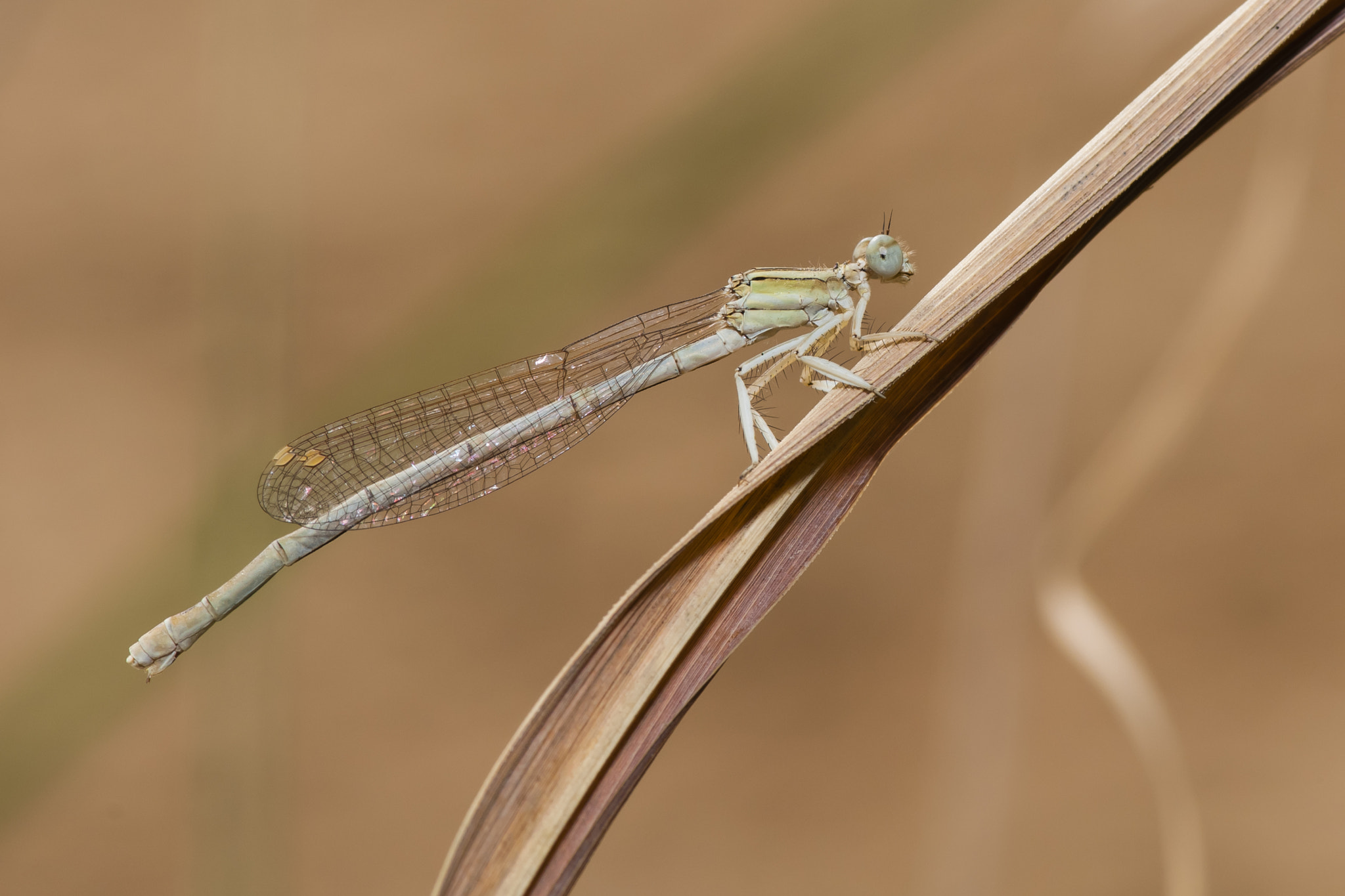 Photograph Damselfly 03 by Hosein Esmaeelbegi on 500px