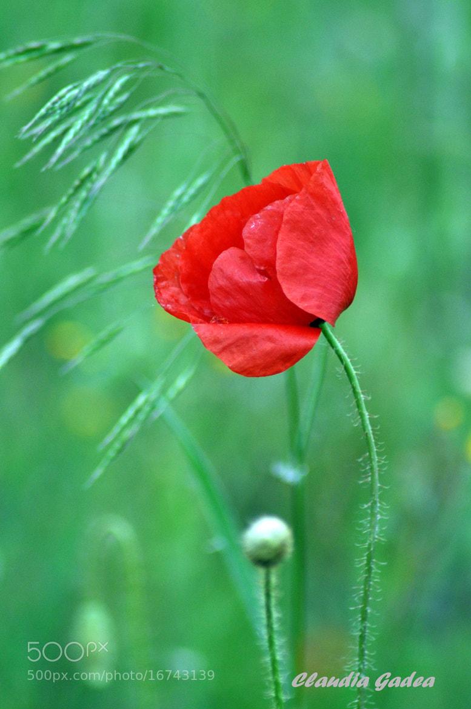 Photograph A single poppy by Claudia Gadea on 500px