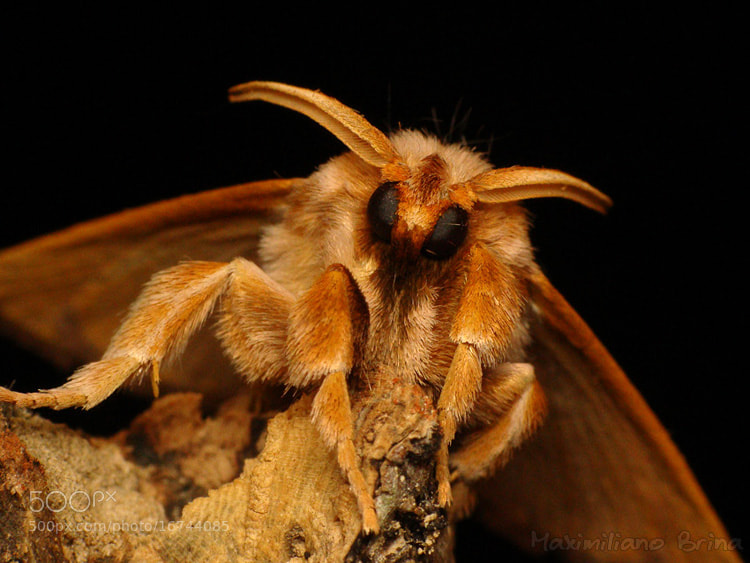 Photograph (another) fluffy moth by Maximiliano Brina on 500px