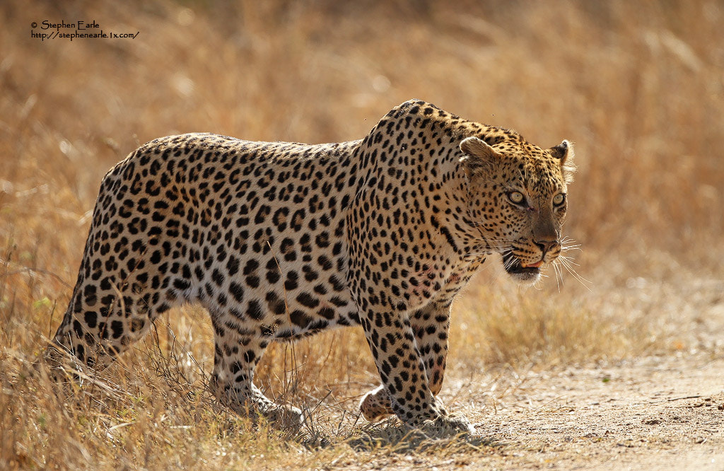 Photograph Leopard by Stephen Earle on 500px