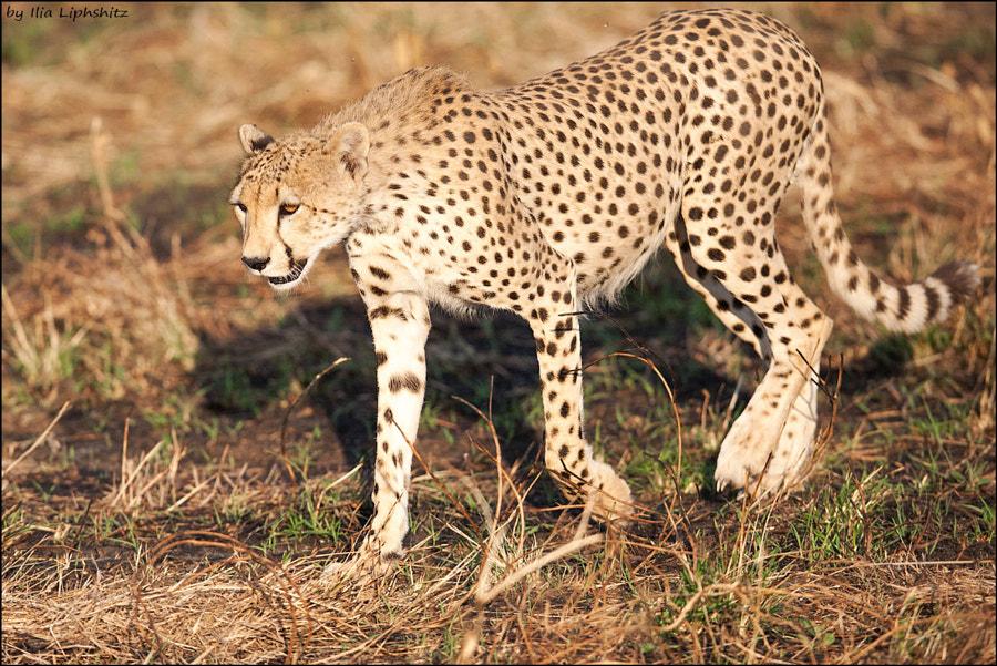 Cheetahs of Serengeti №7