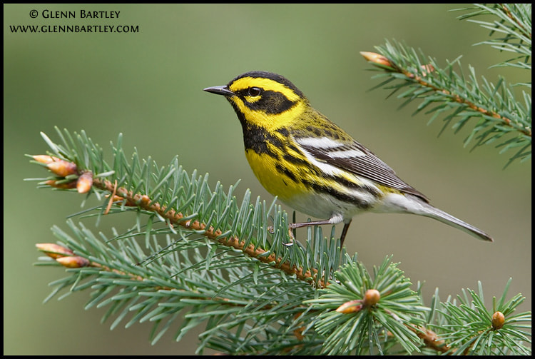 Photograph Townsend's Warbler (Dendroica townsendi) by Glenn Bartley on 500px