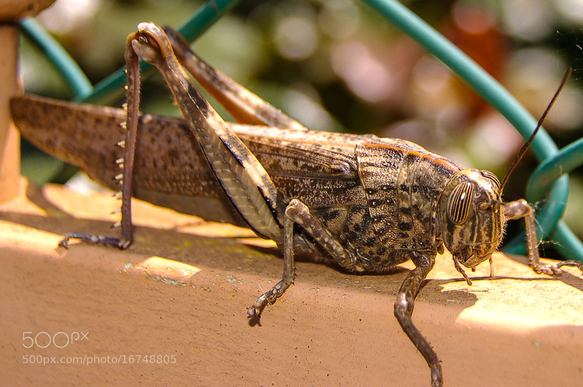 Photograph Grasshopper by JP Gomes on 500px