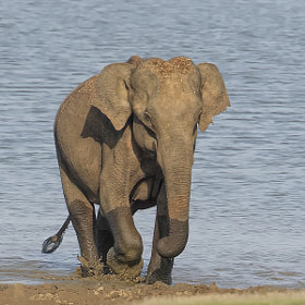 Elephant After a drink