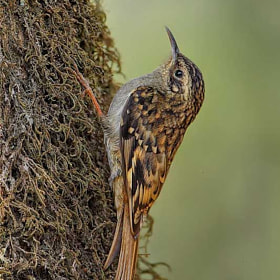 Brown throated TreeCreeper