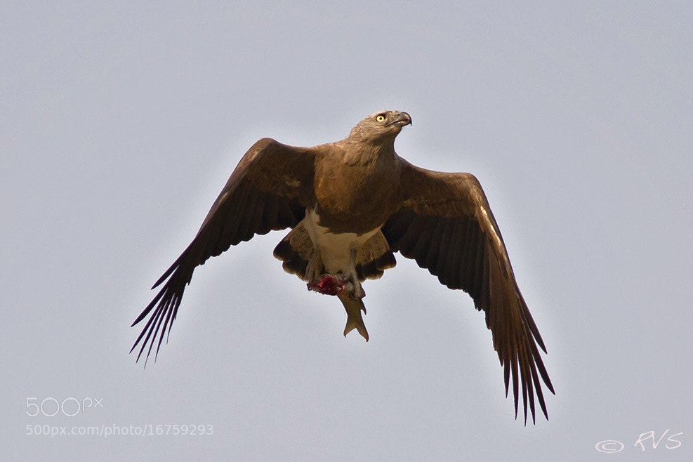Photograph Lesser Fish Eagle by Raviraj Shah on 500px