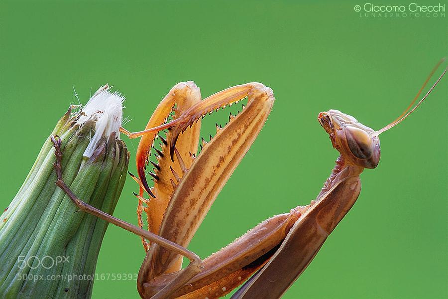 Photograph Mantis by Giacomo Checchi on 500px