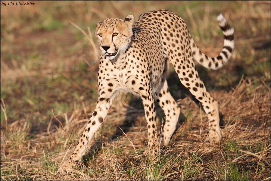 Cheetahs of Serengeti №9