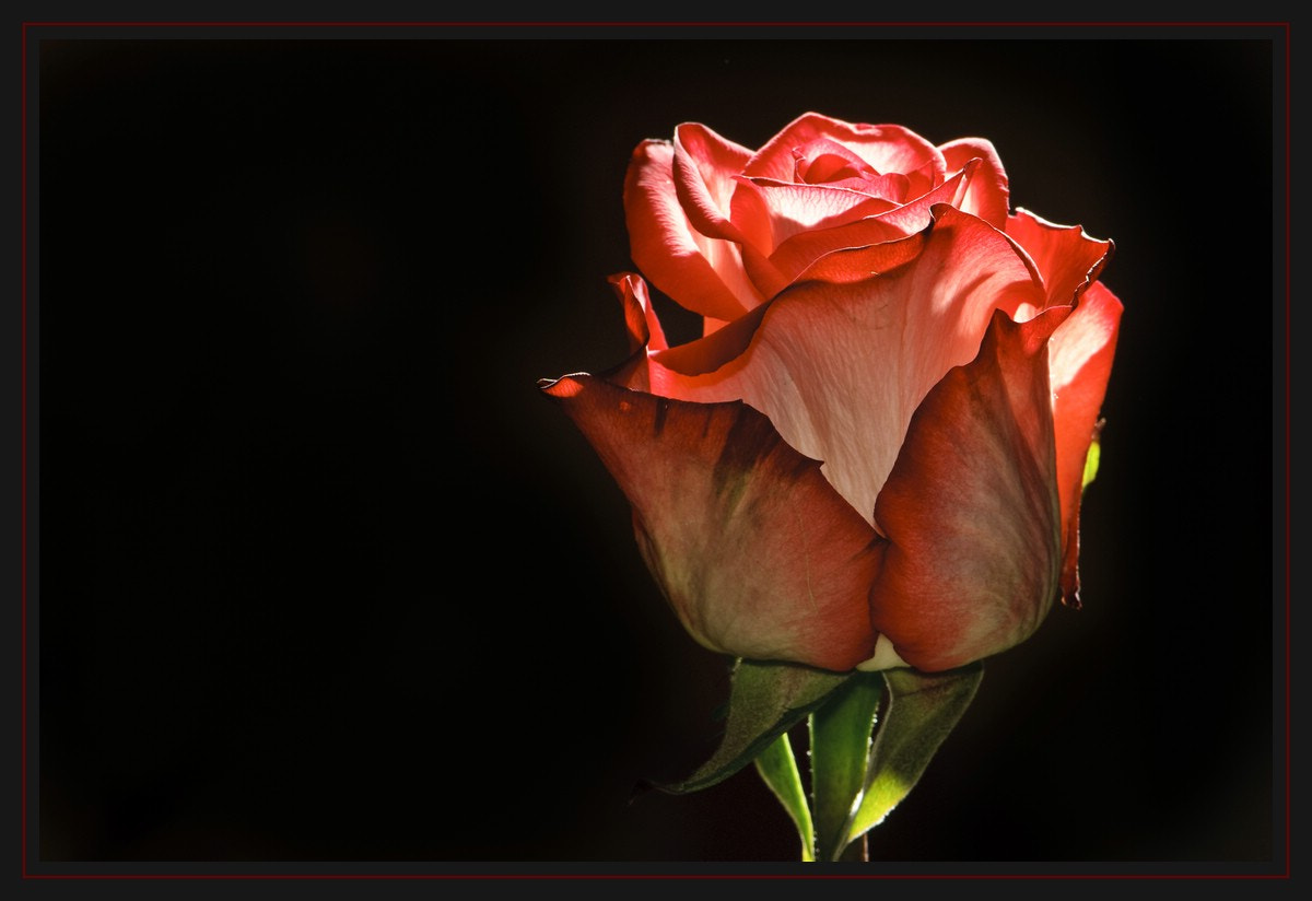 Photograph just another red rose I by Juergen B. Mueller on 500px