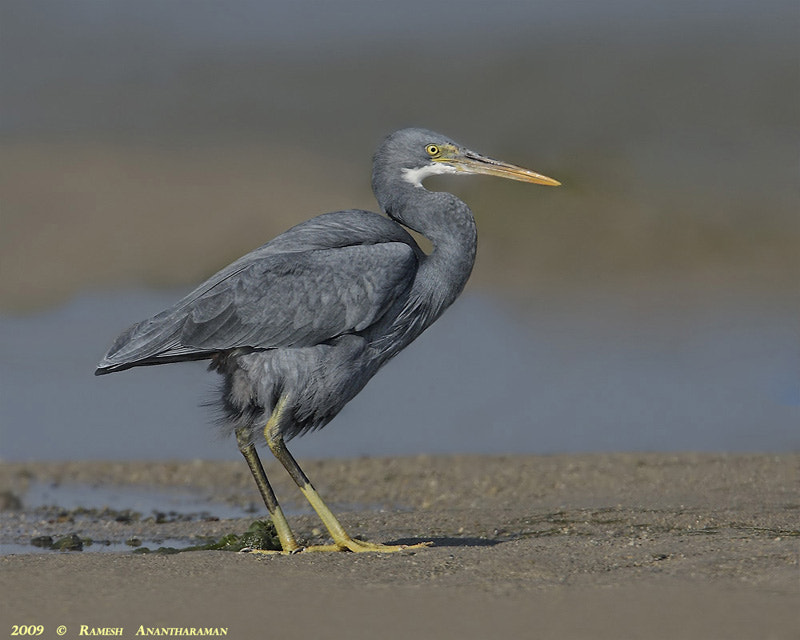 Photograph The wester Reef Egret by Ramesh Anantharaman on 500px