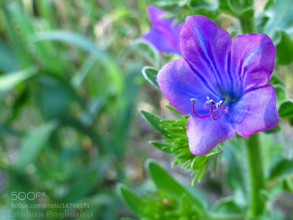 Photograph Violet flower by Esteban Pagliaricci on 500px