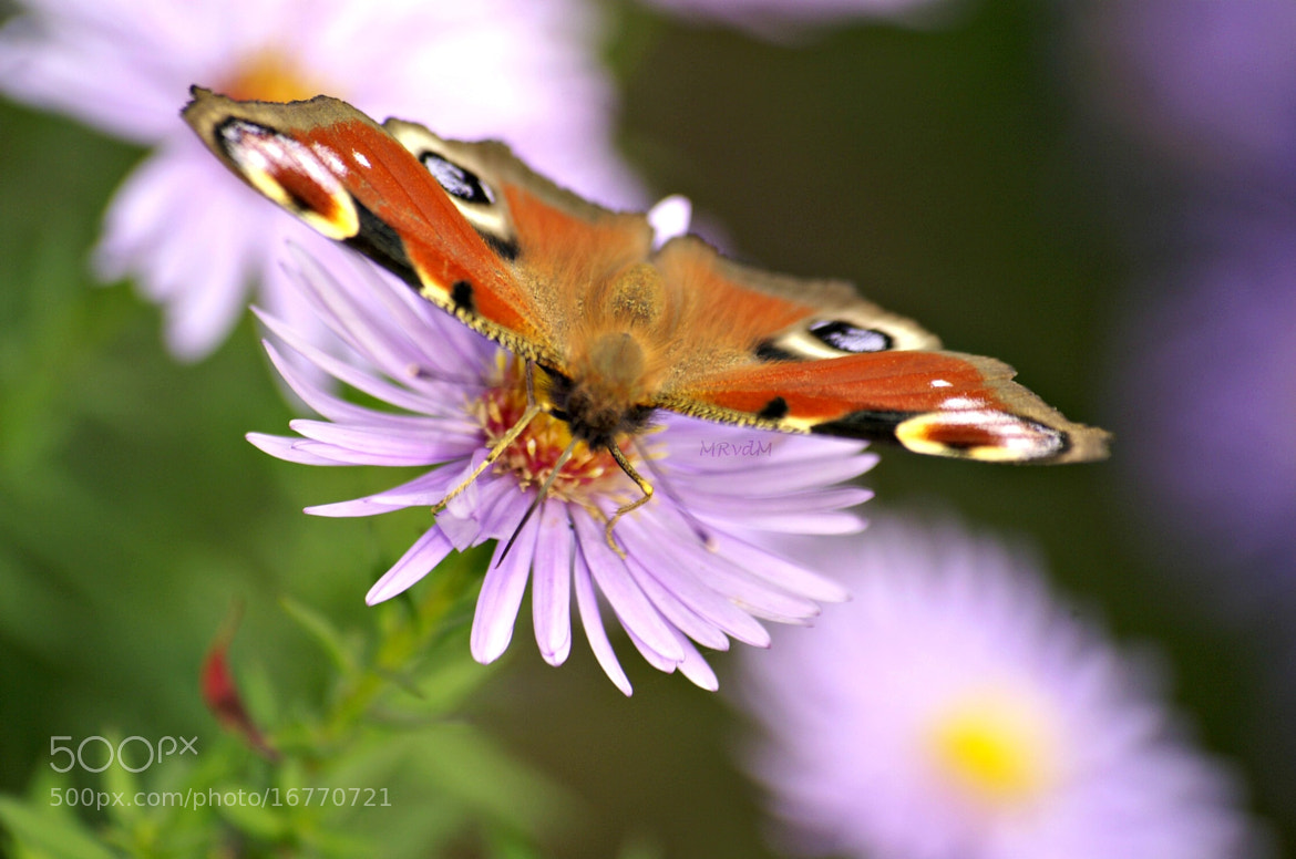 Photograph Butterfly... by Monique Raaijmakers on 500px