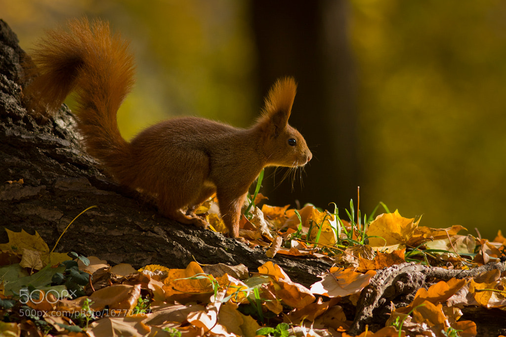 Photograph Autumn squirrel 4 by Felix de Vega on 500px