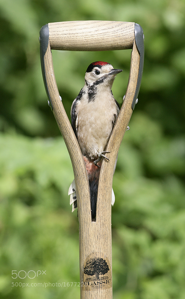 Photograph Young Woodpecker by Kevin  Keatley on 500px
