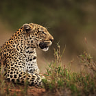 A view of Rockfig Jr (female leopard) sitting on a mound during a morning game drive in the Motswari Private Game Reserve in Greater Kruger.  She is such a majestic leopard, and a pleasure to see and photograph.