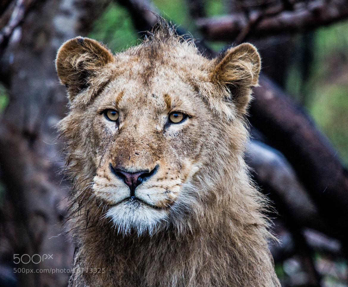 Photograph Lion in the rain by Kevin Brennan on 500px