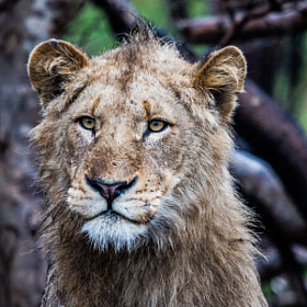 Lion in the rain by Kevin Brennan (Kevinwb74)) on 500px.com
