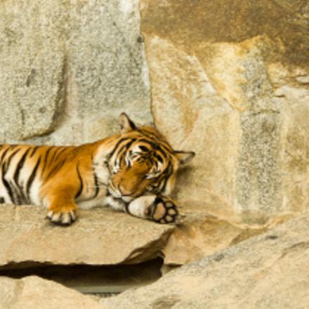 Chilling Tiger