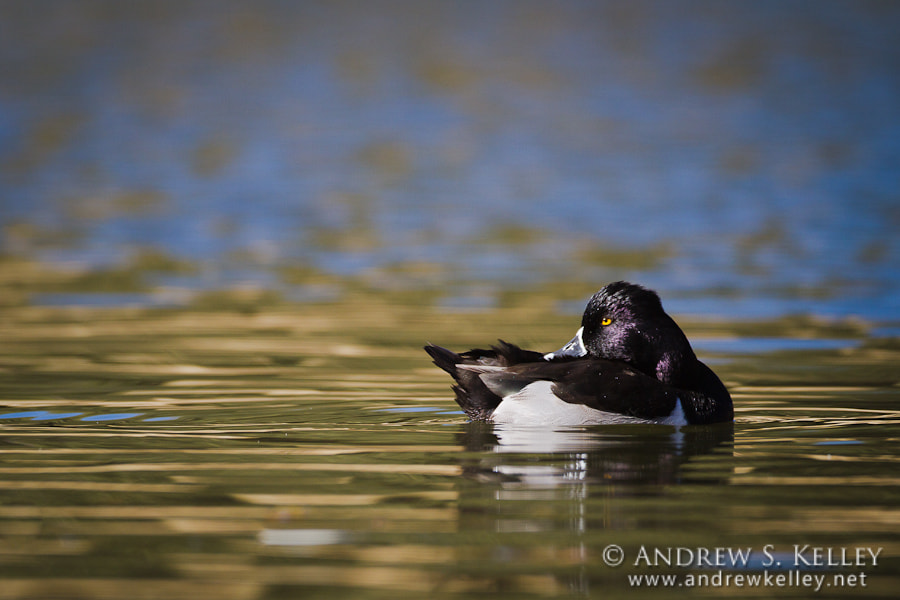 Photograph Ring-Necked Duck by Andrew Kelley on 500px