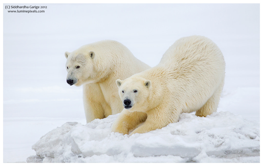 Photograph Ice bears of Arctic - 2 by Siddhardha Garige on 500px