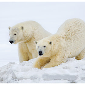 Ice bears of Arctic - 2 by Siddhardha Garige (luminepixels)) on 500px.com