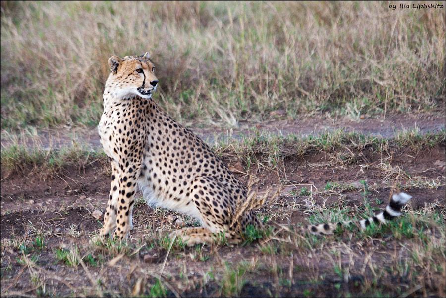 Cheetahs of Serengeti №10