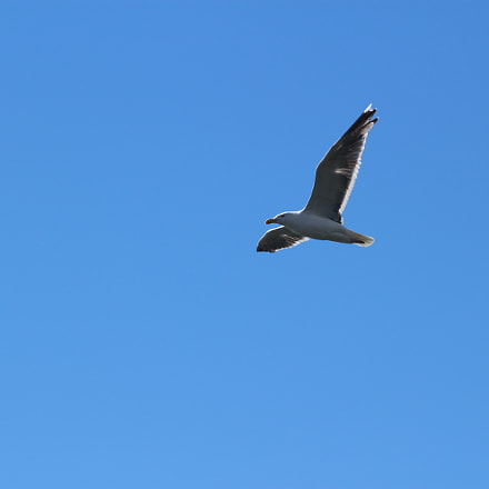 Seagull on a blue, Canon EOS KISS X7, Canon EF 70-300mm f/4-5.6 IS USM
