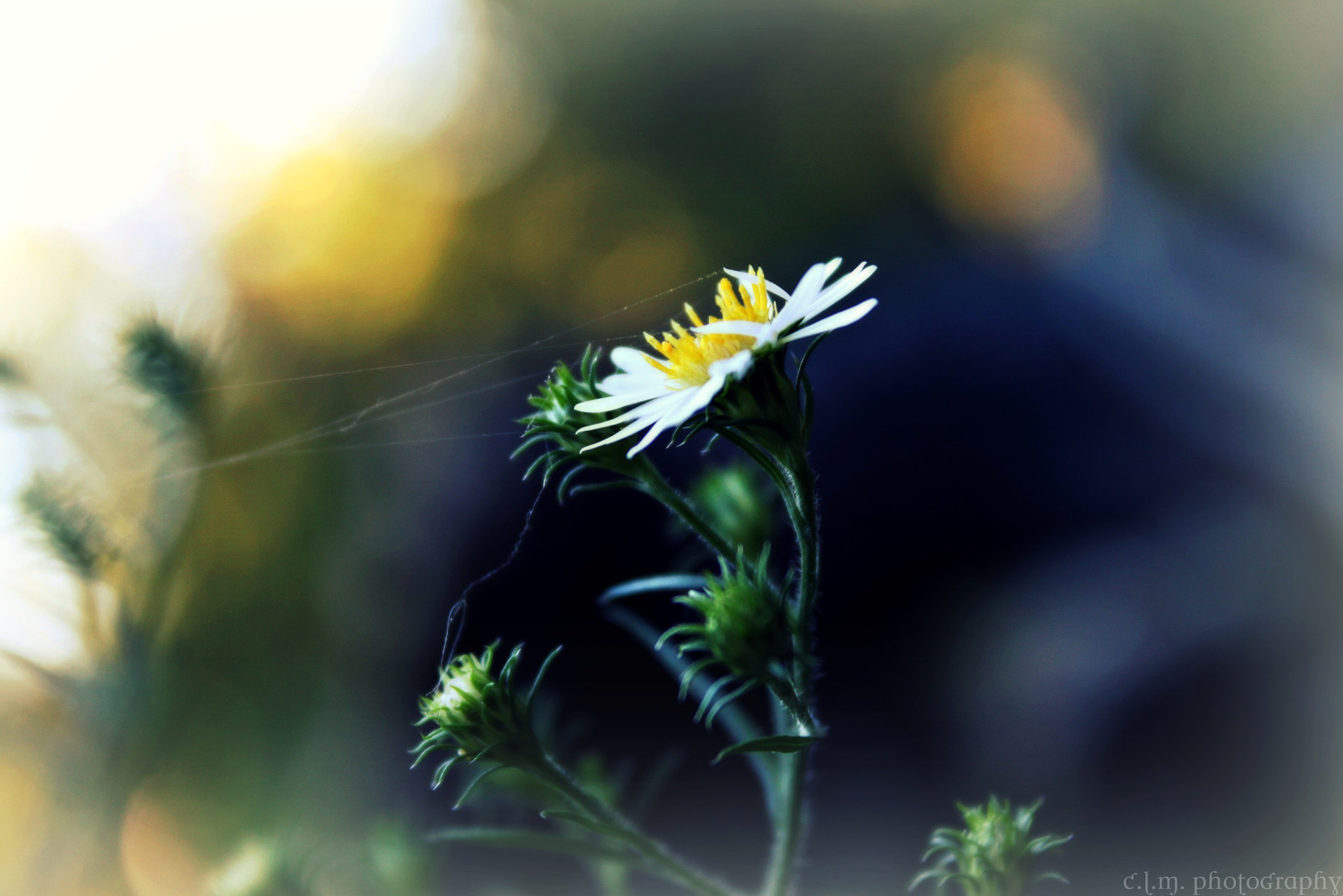 Photograph Wild Daisy Reel-in by Caitlin Mendez on 500px